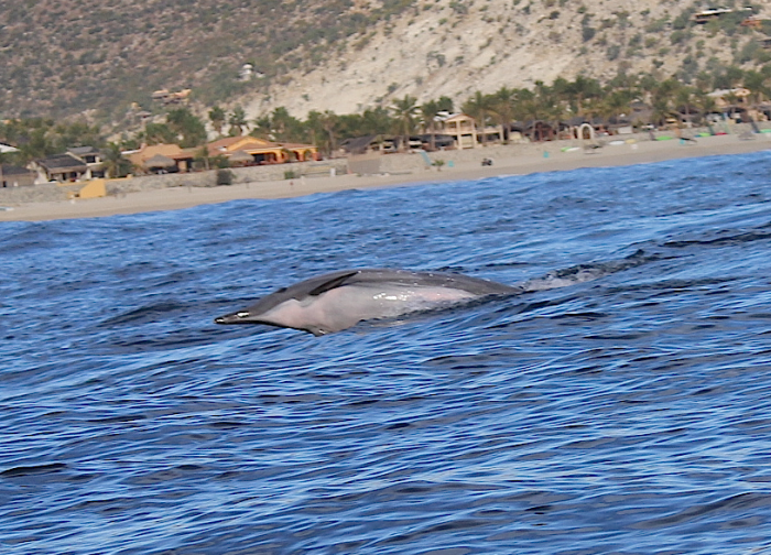 We didn't catch any fish, but the dolphins made up for it. (Los Barriles, Baja, Mexico)